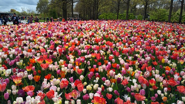 Сезон тюльпанов в Кекенхофе
